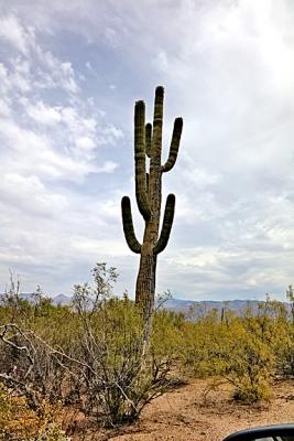 Saguaro 01.jpg